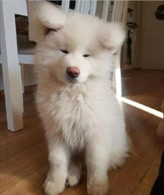 buy-sell entertainment-sports pets فروش سگ سامویید سفید برفی