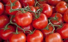 industry agriculture agriculture فروش بذر گوجه فرنگی هیبرید 8320 سمینیس