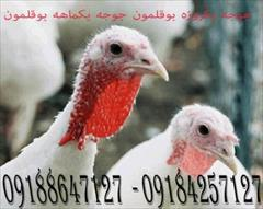 industry livestock-fish-poultry livestock-fish-poultry فروش جوجه بوقلمون یک روزه