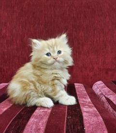 buy-sell entertainment-sports pets فروش بچه گربه های پرشین سفید و مشکی وگارفیلدی