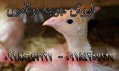 industry livestock-fish-poultry livestock-fish-poultry جوجه بوقلمون یک روز ه تا یک ماهه