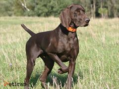 buy-sell entertainment-sports pets سگ پوینتر انگلیسی و المانی اموزش دیده