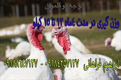 industry livestock-fish-poultry livestock-fish-poultry فروش ویژه جوجه بوقلمون