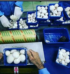industry packaging-printing-advertising packaging-printing-advertising ظرف یکبار مصرف قارچ  ظروف بسته بندی قارچ  فروشگاه