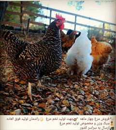 industry livestock-fish-poultry livestock-fish-poultry شرکت تعاونی مهرخواه صنعت