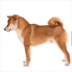 buy-sell entertainment-sports pets فروش توله آکیتا (هاچیکو) ، فروش آکیتا ژاپنی