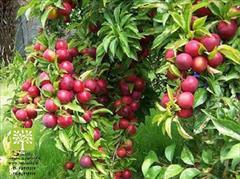 industry agriculture agriculture انواع نهال مثمر و غیر مثمر ( نهال میوه و زینتی )