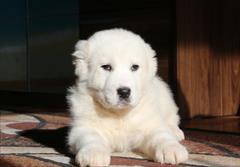 buy-sell entertainment-sports pets فروش توله آلابای روس اصیل وبا کیفیت