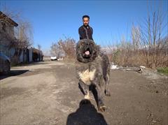 buy-sell entertainment-sports pets فروش سگ های گارد و نگهبان تخصص ماست