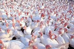 industry livestock-fish-poultry livestock-fish-poultry خریدار بوقلمون اماده کشتار