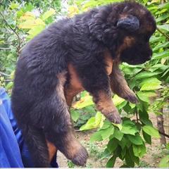 buy-sell entertainment-sports pets سگ ژرمن شپرد  سگ نگهبان  سگ گرگی