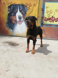buy-sell entertainment-sports pets روتفایلر نر بالغ نگهبان