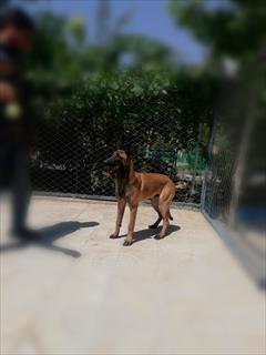 buy-sell entertainment-sports pets فروش سگ بلژین مالینویز