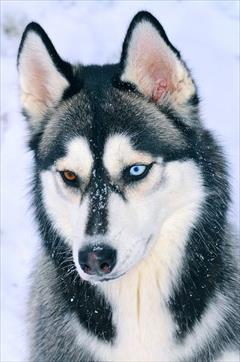 buy-sell entertainment-sports pets قیمت هاسکی - فروش سگ هاسکی - هاسکی چشم رنگی