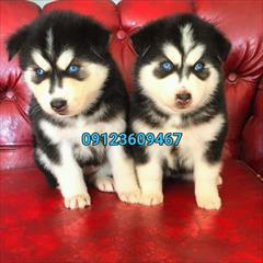 buy-sell entertainment-sports pets فروش ویژه سگ هاسکی مو بلند - خرید سگ هاسکی