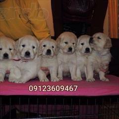 buy-sell entertainment-sports pets فروش سگ گلدن رتریور - فروش توله گلدن رتریور - Gold