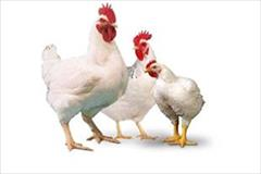 industry livestock-fish-poultry livestock-fish-poultry فروش تخم نطفه دار مرغ راس گوشتی