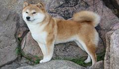 buy-sell entertainment-sports pets فروش اکیتا ژاپنی سگی اصیل و وارداتی