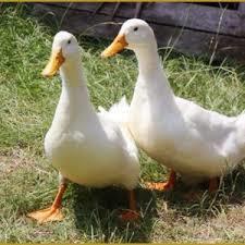 industry livestock-fish-poultry livestock-fish-poultry فروش تخم اردک پکنی و محلی نطفه دار