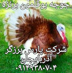 industry livestock-fish-poultry livestock-fish-poultry جوجه بوقلمون،فروش جوجه بوقلمون،پرورش بوقلمون