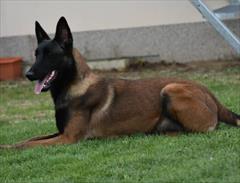 buy-sell entertainment-sports pets  فروش سگ امدادگر محبوب (بلژین مالینو