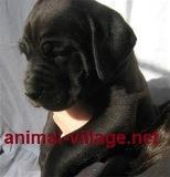 buy-sell entertainment-sports pets فروش ویژه کن کورسو - فروش توله کن کورسو - فروش سگ
