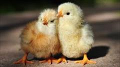 industry livestock-fish-poultry livestock-fish-poultry فروش جوجه مرغ
