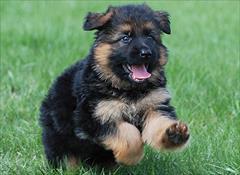 buy-sell entertainment-sports pets فروش توله سگ های ژرمن شولاین (شیب دار _ بلک فیس)