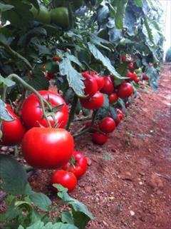 industry agriculture agriculture گوجه فرنگی گلخانه ای  سانتالینا 09199762163