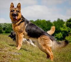buy-sell entertainment-sports pets سگ های اصیل ژرمن شپرد مخصوص نگهبانی