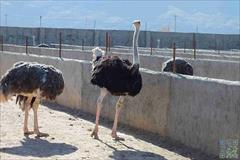 industry livestock-fish-poultry livestock-fish-poultry فروش تخم نطفه دار شتر مرغ گردن آبی