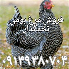 industry livestock-fish-poultry livestock-fish-poultry فروش مرغ بومی تخمگذار ، مرغ محلی جوجه یک روزه