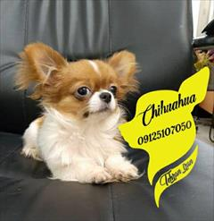 buy-sell entertainment-sports pets فروش سگ جیبی اپارتمانی سایز صفر ریز تیکاب عروسکی
