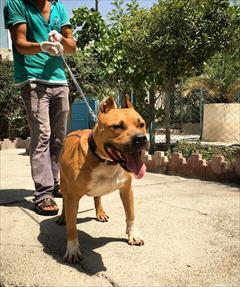 buy-sell entertainment-sports pets فروش سگ پیت بول امریکن بولی