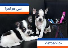 buy-sell entertainment-sports pets فروش سگ شی هواهوا