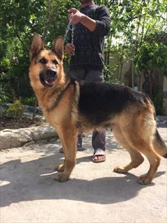 buy-sell entertainment-sports pets سگ ژرمن شپرد ورک لاین
