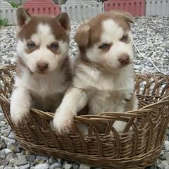 buy-sell entertainment-sports pets فروش توله هاسکی سیبرین و مالاموت
