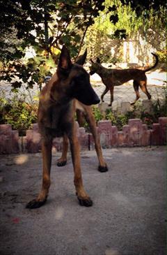 buy-sell entertainment-sports pets فروش مالینویز باهوش ترین سگ دنیا