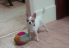 buy-sell entertainment-sports pets فروش سگ شی هواهوا-شیواوا-شیهواهوا-شی هوا هوا