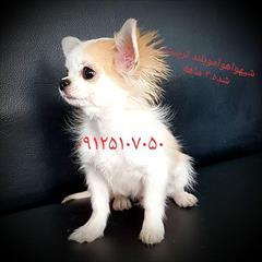 buy-sell entertainment-sports pets فروش سگ شیواوا-شیهواهوا-چیهواهوا-سگ جیبی