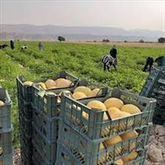 industry agriculture agriculture فروش بذر خربزه ملون مایسترو مشابه جانا