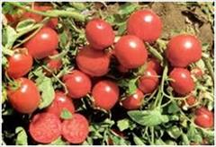 industry agriculture agriculture فروش بذر گوجه فرنگی یونی ژن ریوگرند