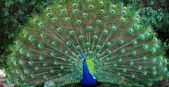 industry livestock-fish-poultry livestock-fish-poultry تخم نطفه دار طاووس مصری و هندی