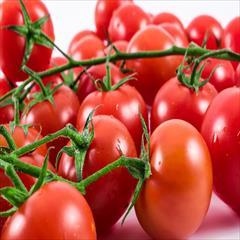industry agriculture agriculture فروش بذر گوجه فرنگی مارکنی زودرس و خوش رنگ