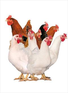 industry livestock-fish-poultry livestock-fish-poultry فروش مرغ تخم گذار(پولت)