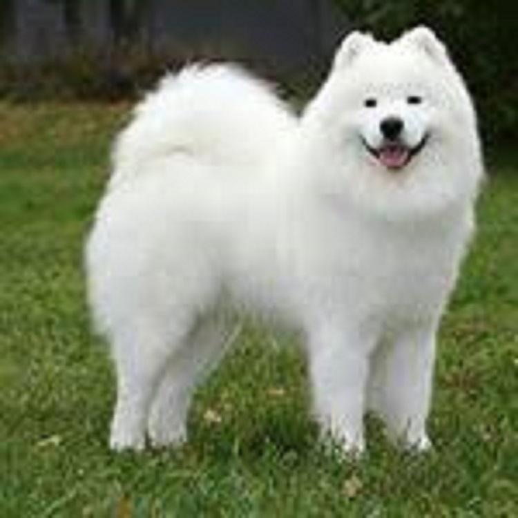 فروش ساموئید زیبا و اصیل با بهترین کیفیت<br/>سامویید سگ نگهبان و اپارتمان<br/>در سیبری از این نژاد برای مسابقات شکار سورتمه کشی<br/>خیلی زود با افراد جامعه خو میگ buy-sell entertainment-sports pets