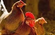 آماده سازی سالنها:<br/><br/>- کلیه تجهیزات سالن (دانخوری ها و آبخوری ها و لوله ها) از سالن خارج گردند.<br/><br/>- کودهای دوره قبل کاملاً تخلیه شود.<br/><br/>- با استفاده از industry livestock-fish-poultry livestock-fish-poultry