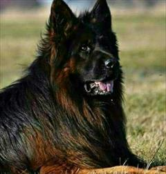 buy-sell entertainment-sports pets سگ های ژرمن شپرد