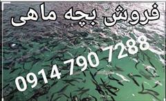 industry livestock-fish-poultry livestock-fish-poultry فروش بچه ماهیان گرمابی کپور ، آمور،بیگ هد،فیتوفاگ
