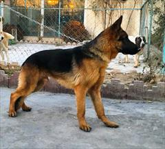 buy-sell entertainment-sports pets سگ ژرمن شپرد نگهبان